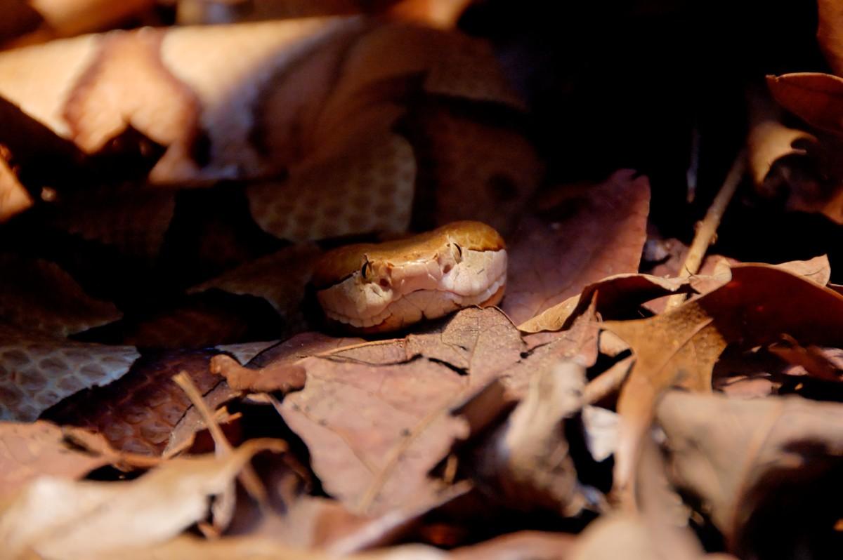Copperhead... Photo by Sebastian Bergmann. Attribution-ShareAlike 2.0 Generic (CC BY-SA 2.0) .