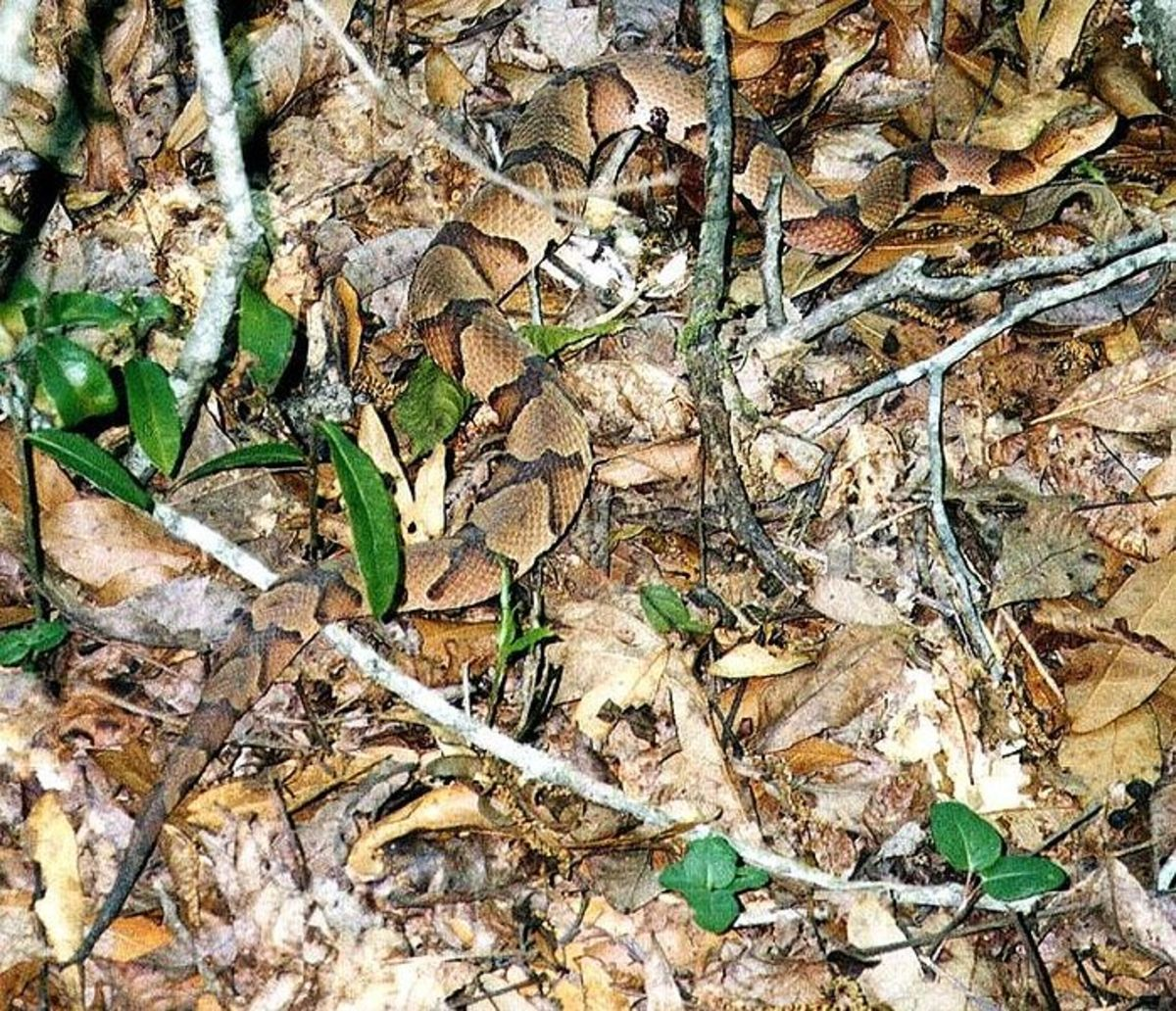 Southern Copperhead in it's natural habitat displaying it's perfect camo... Public Domain.