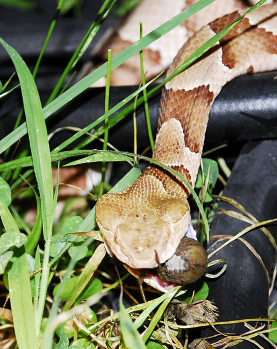 Southern copperhead eating a Cicada, photographed in Arkansas by Mike Perry - http://MikePerryMedia.com/. This work is licensed under the Creative Commons Attribution-ShareAlike 3.0 License.