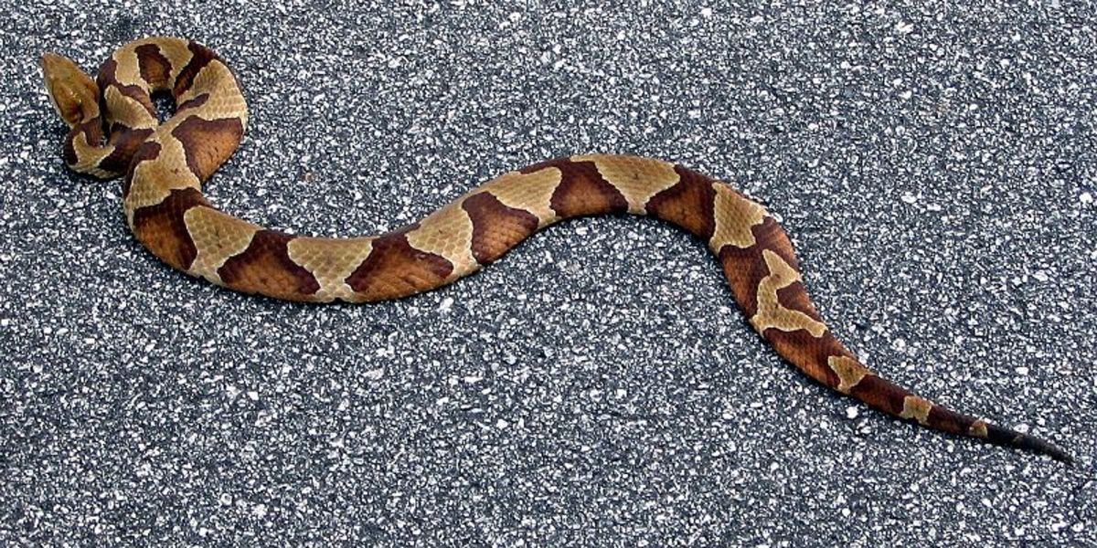 Southern Copperhead... By Steve Karg (Own work) [CC-BY-2.5 (http://creativecommons.org/licenses/by/2.5)], via Wikimedia Commons