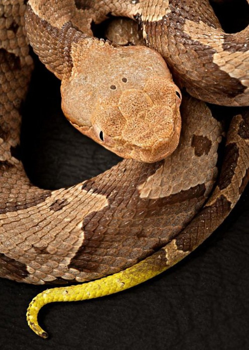Southern Copperhead... Public Domain.