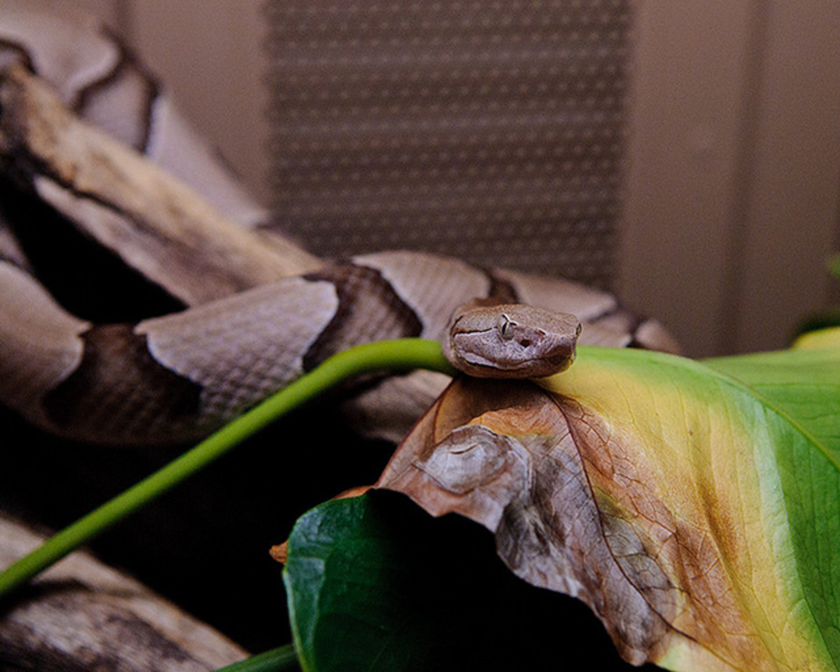 Copperhead... Photo by BFS Man. Attribution 2.0 Generic (CC BY 2.0)