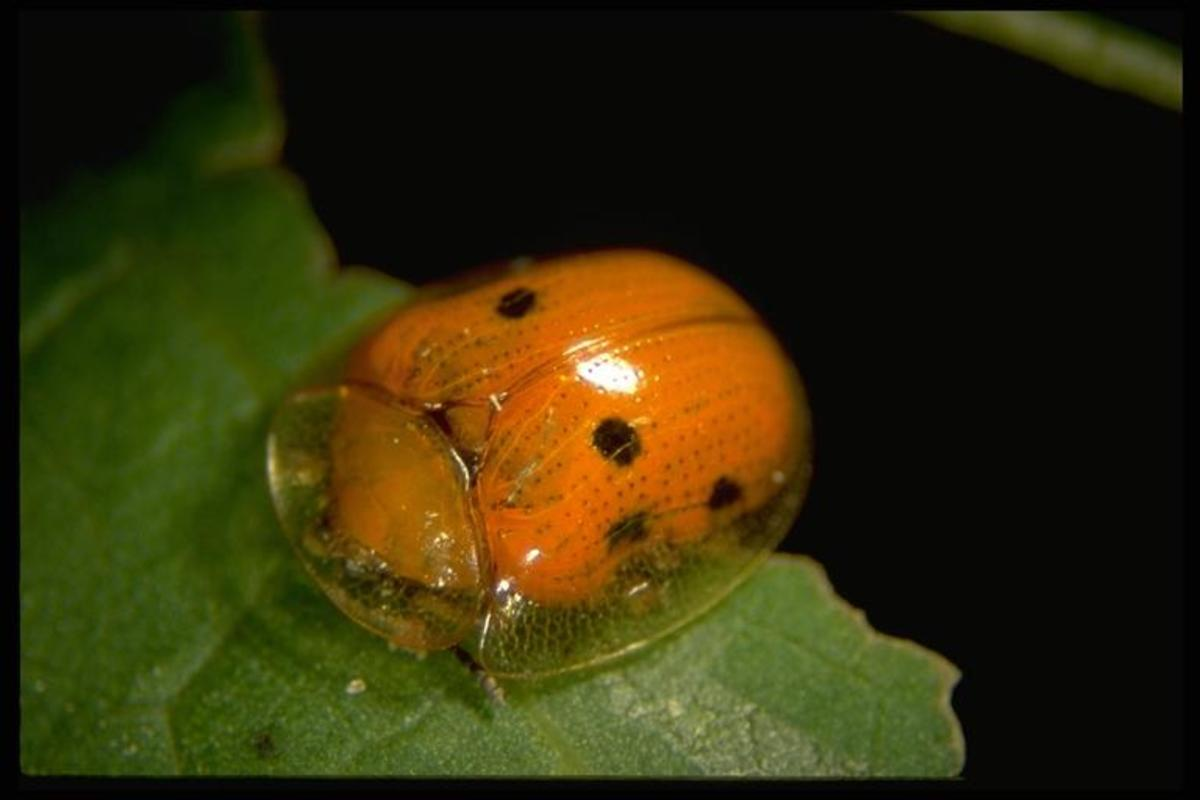 A disturbed adult disguised as a lady bug.