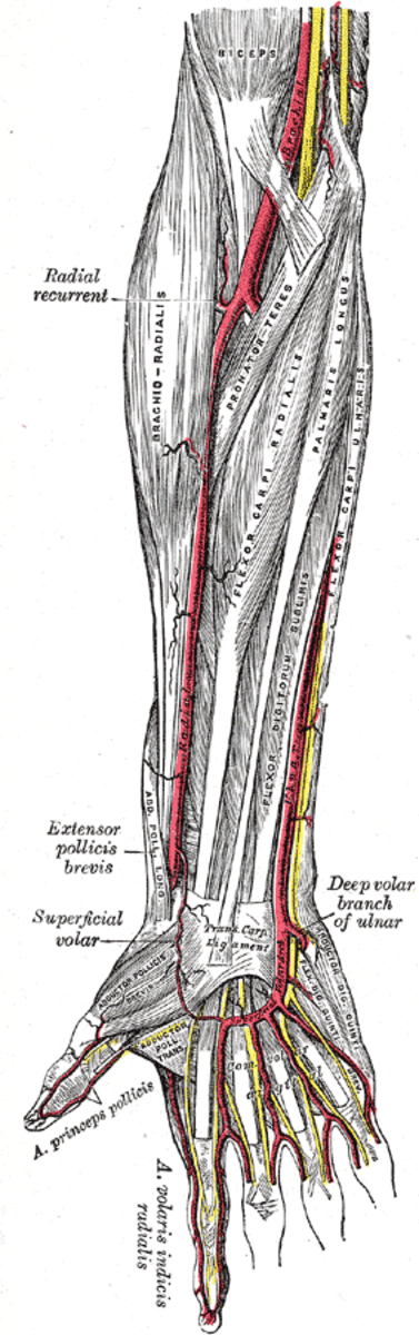 The radial artery along the inside of the forearm.