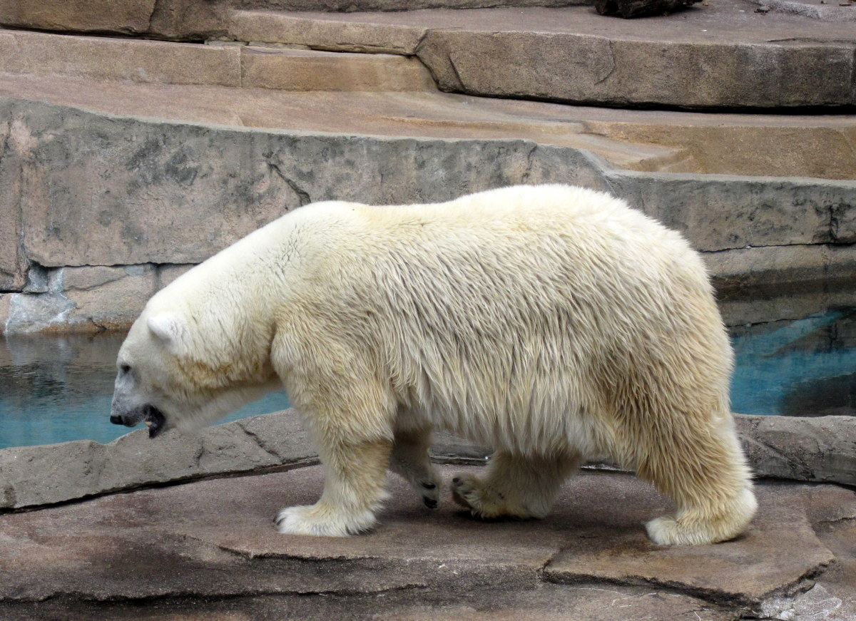 Polar bear at the Milwaukee County Zoo.