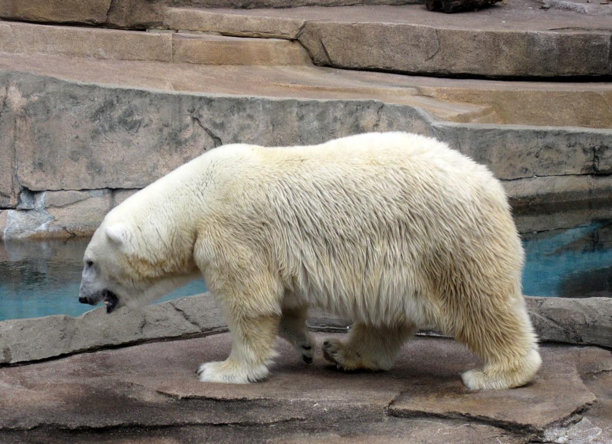 Polar bear at the Milwaukee County Zoo.