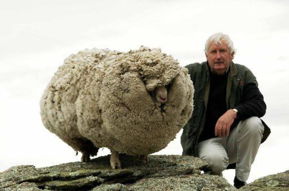 This is Shrek the sheep.  Go to this web site and read a wonderful real life object lesson you can share.