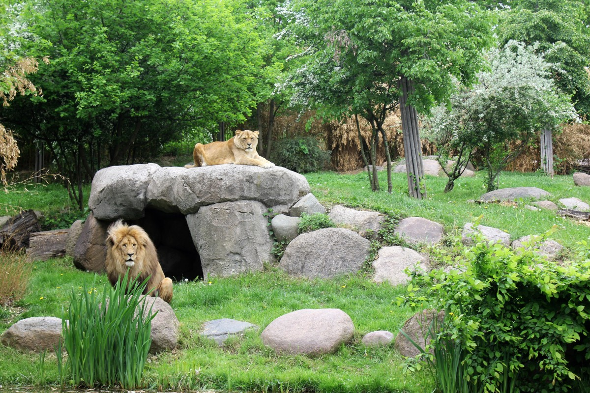 Matadi and Luena, relaxing in their enclosure.