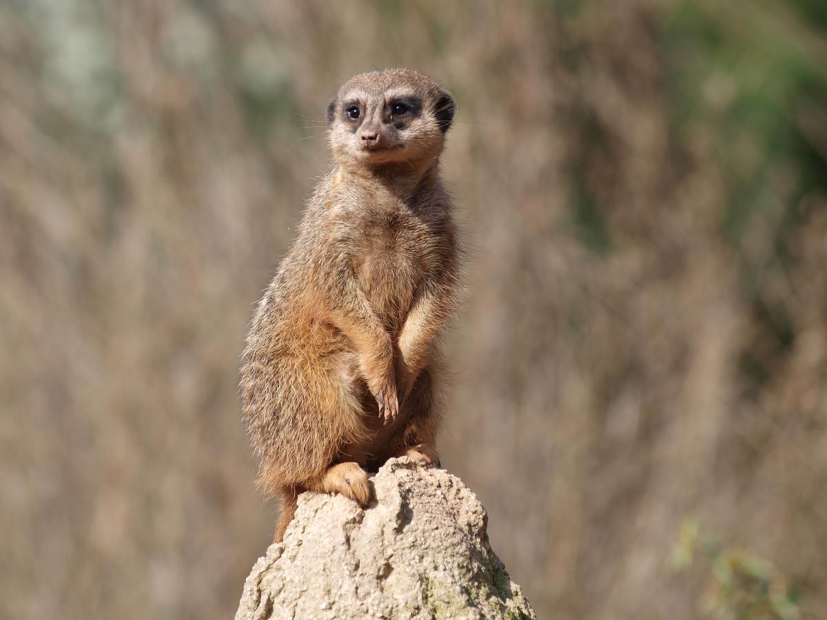 A meerkat on lookout.