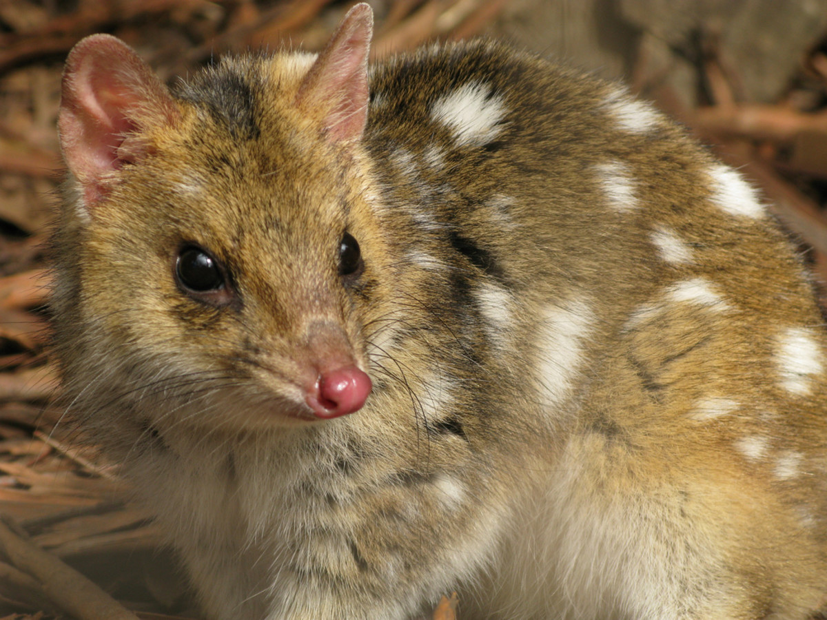 Spotted eastern quoll.