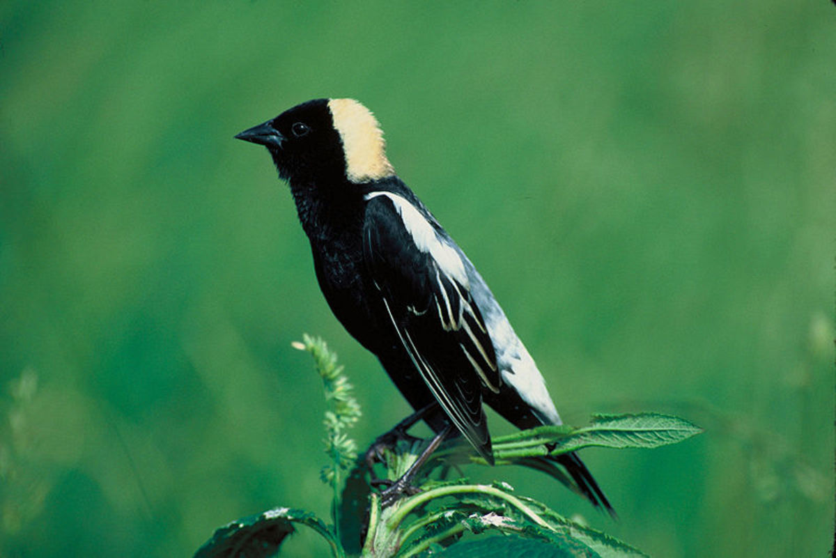 "A picture of a Bobolink taken by the United States fish and wildlife service. These birds have earned the nickname ""rice bird"" because of their affinity for eating rice."