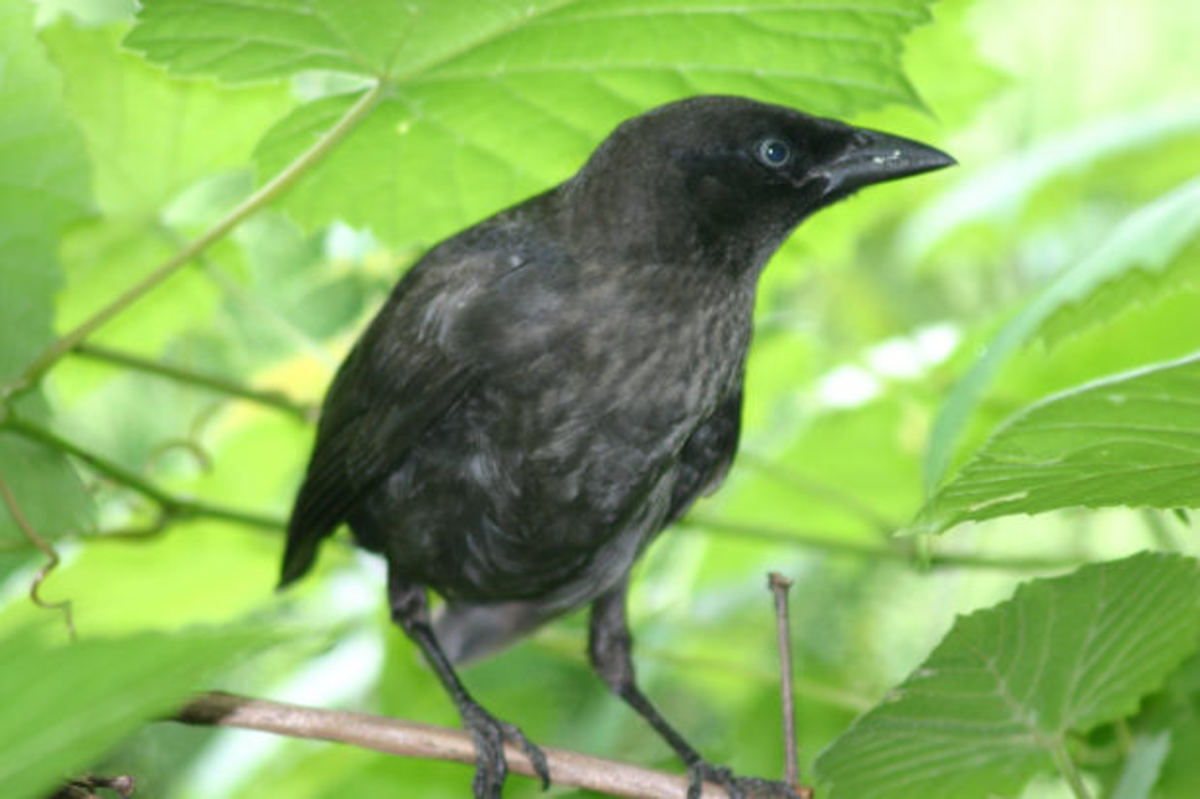 Blackbirds are usually the biggest culprits when it comes to eating rice in fields, especially in southwest Louisiana.