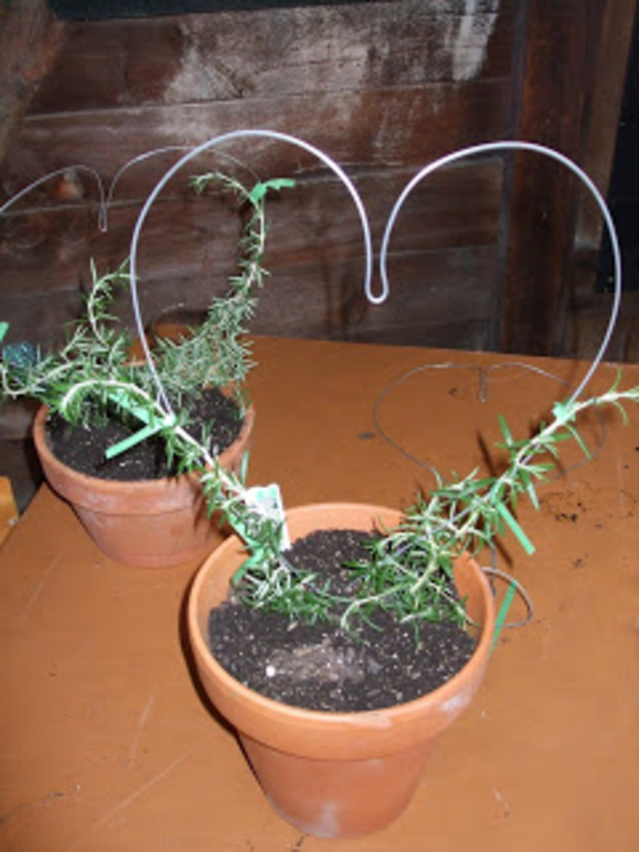 How To Create Your Own Rosemary Topiary Hubpages