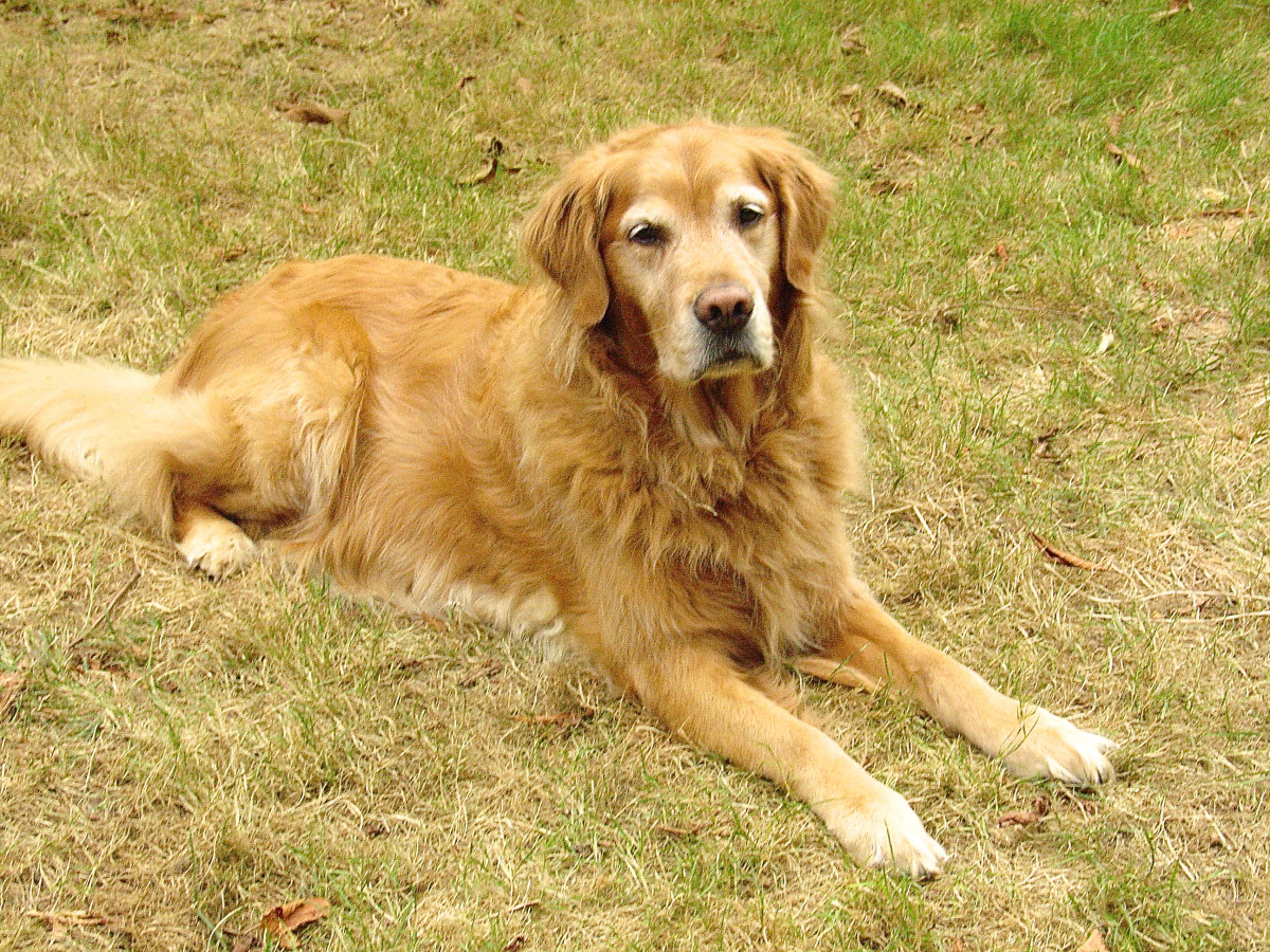 Golden retrievers such as Sam have a great sense of smell, which is very useful in a bio-detection dog.