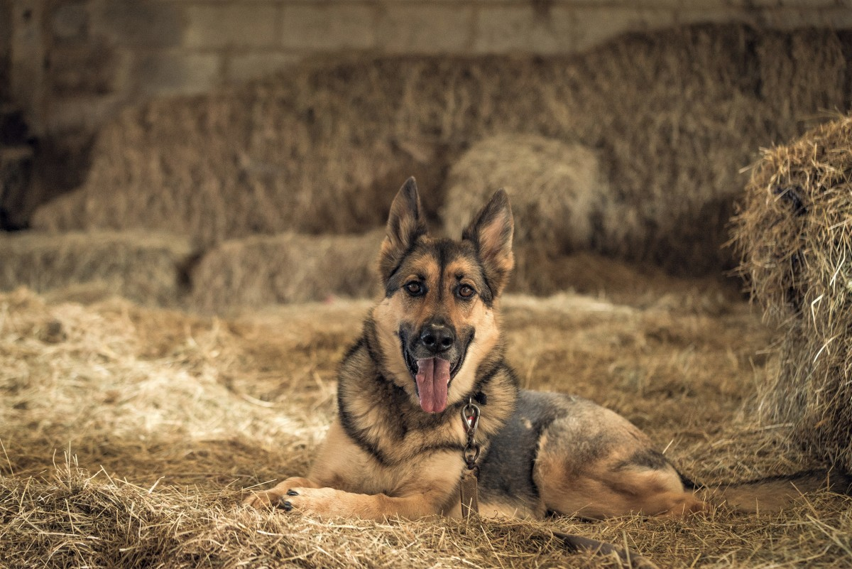In one trial, two German shepherds were very successful at detecting prostate cancer.