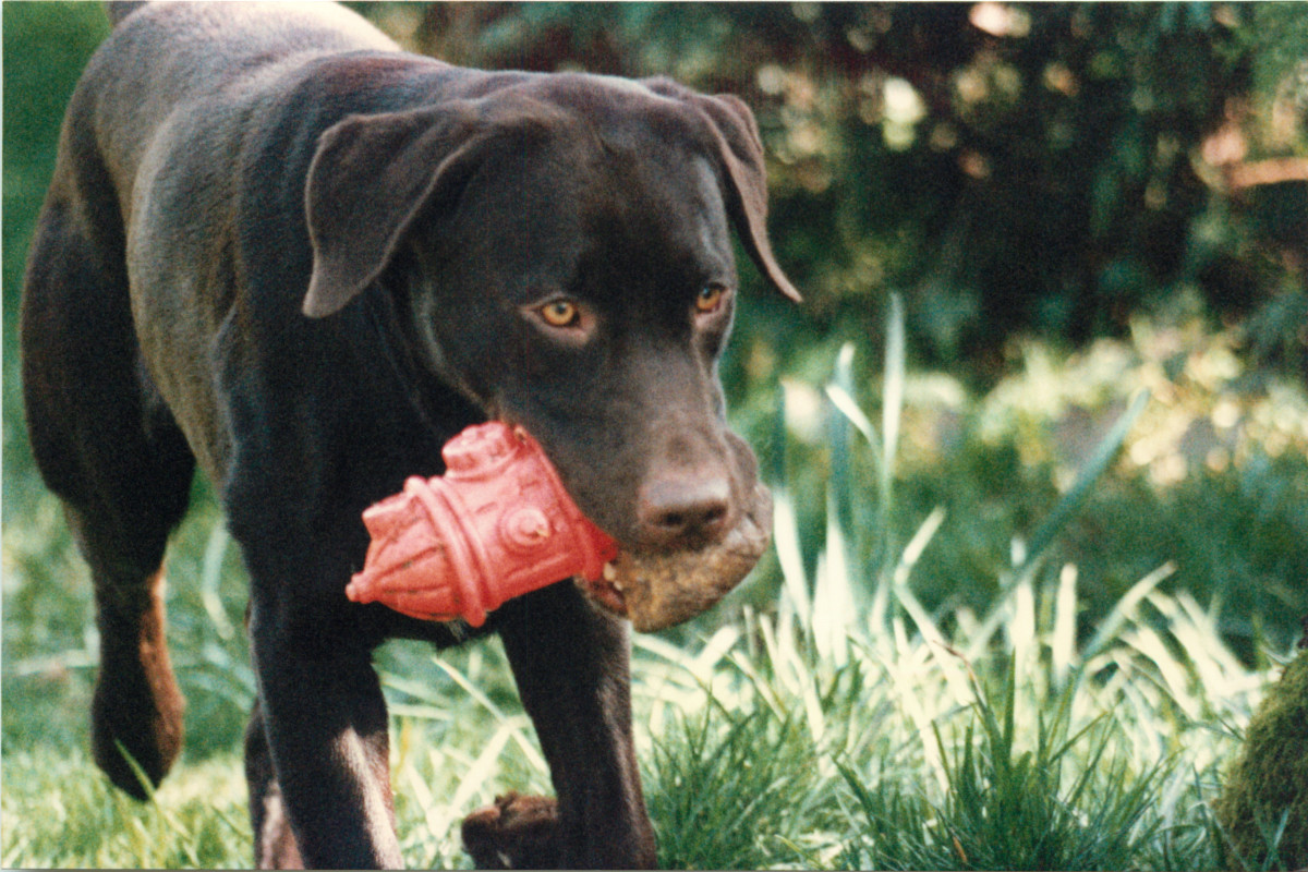Labrador retrievers enjoy carrying objects, which can be useful for people with medical problems.This is Owen as an adult.