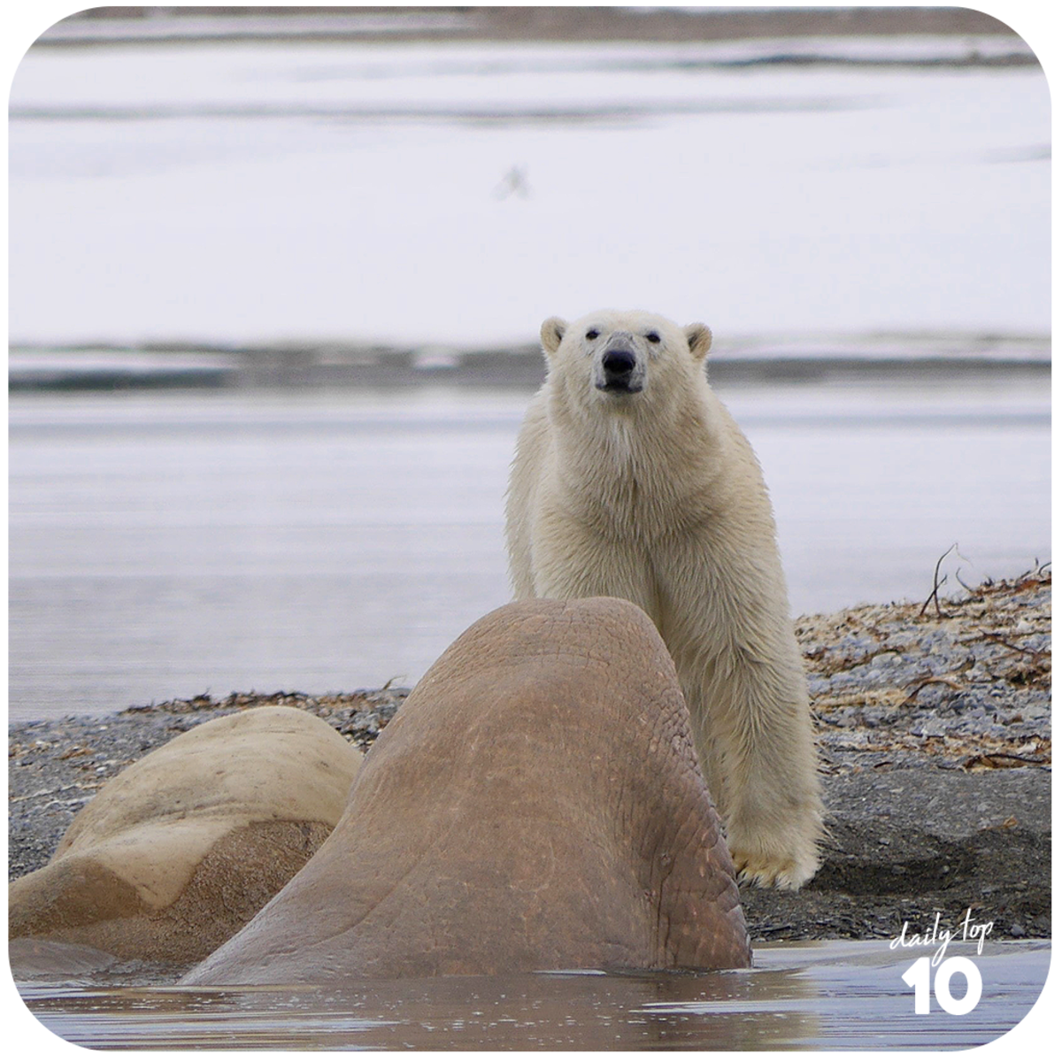 The polar bears are struggling to cope with the situation and it is just a matter of time before they totally won't have anywhere to go.