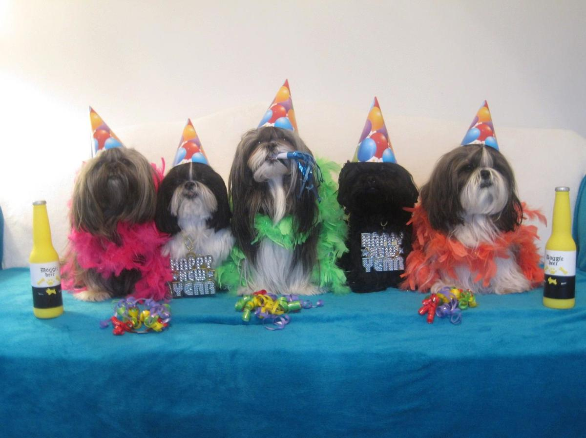 Judi's Shih Tzu dogs are dressed up for the New Year.