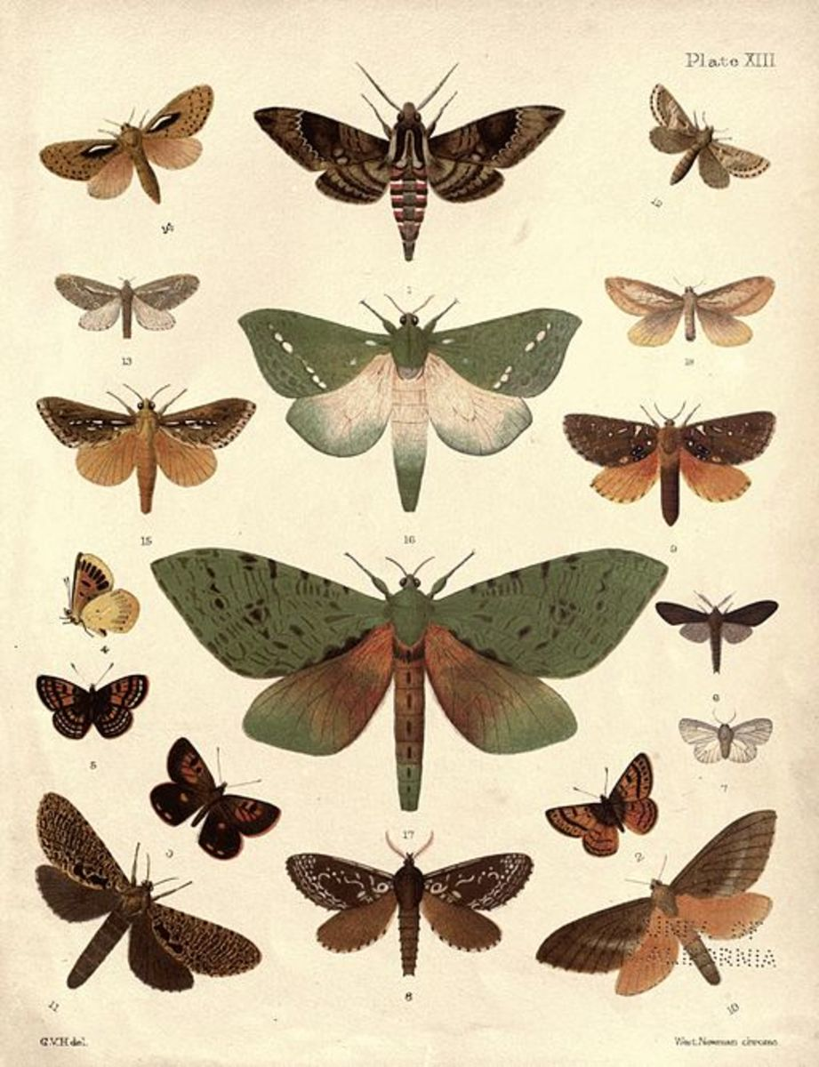 Moth Identification Guide | HubPages - photo#28