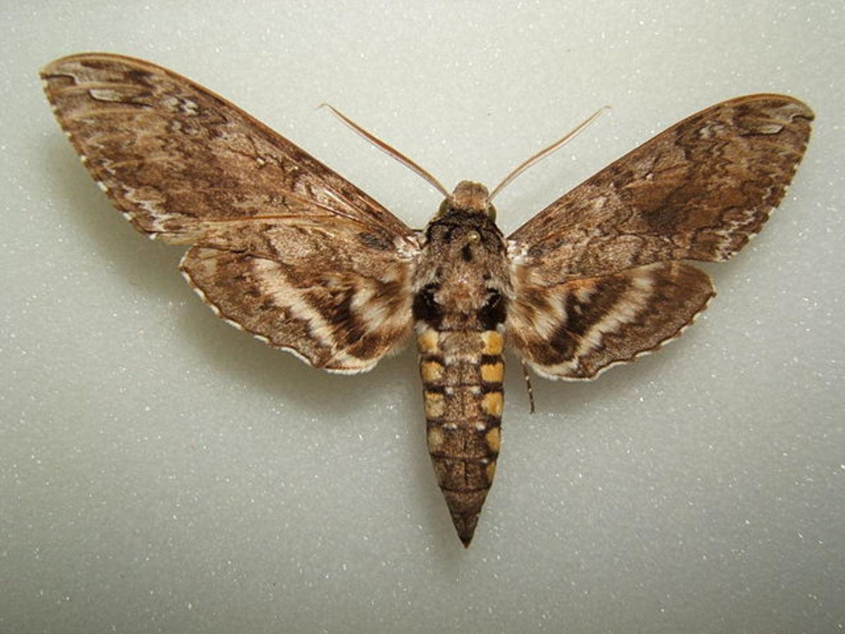 moth-identification