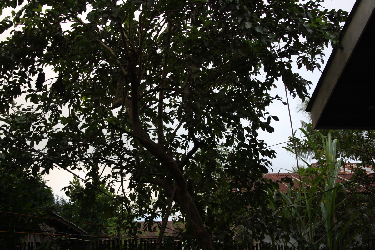 My Guava tree behind my house.