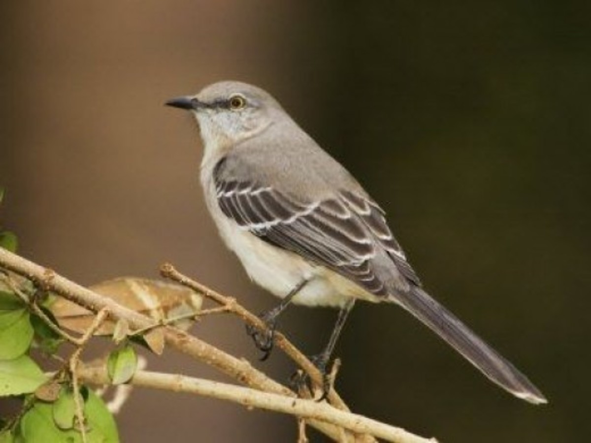 The Northern Mockingbird