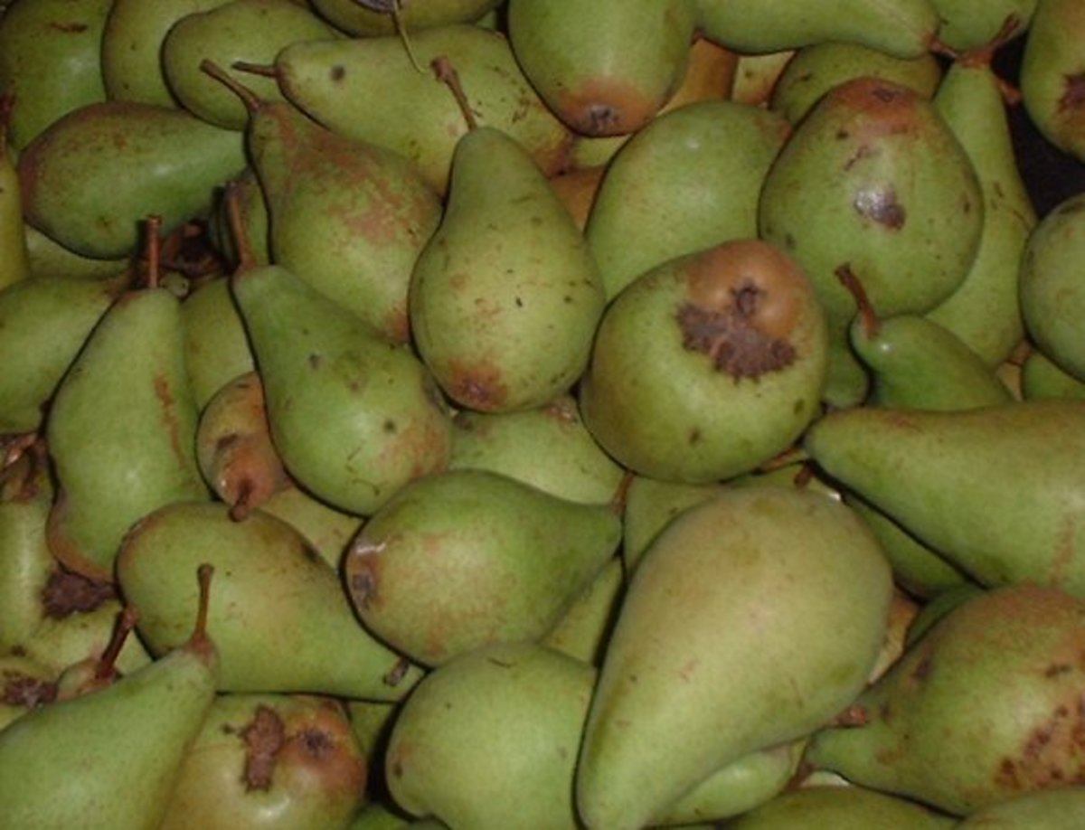 An old variety of pears, Vicar of Winkfield