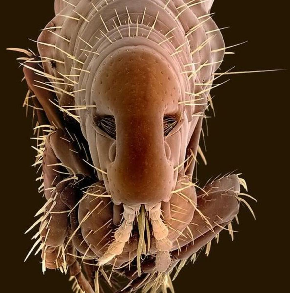 Portrait of a flea through an electron microscope.