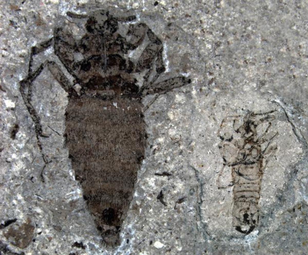 Giant 0.8 inch fleas harassed dinosaurs in the Jurassic and just like today the females were twice the size as the males.