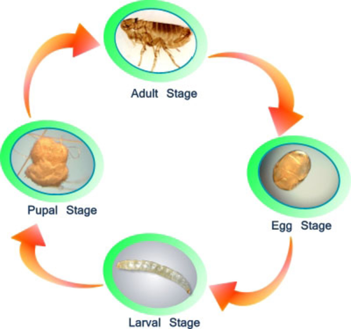 The flea life cycle - not as pretty as a butterfly's but still as impressive.