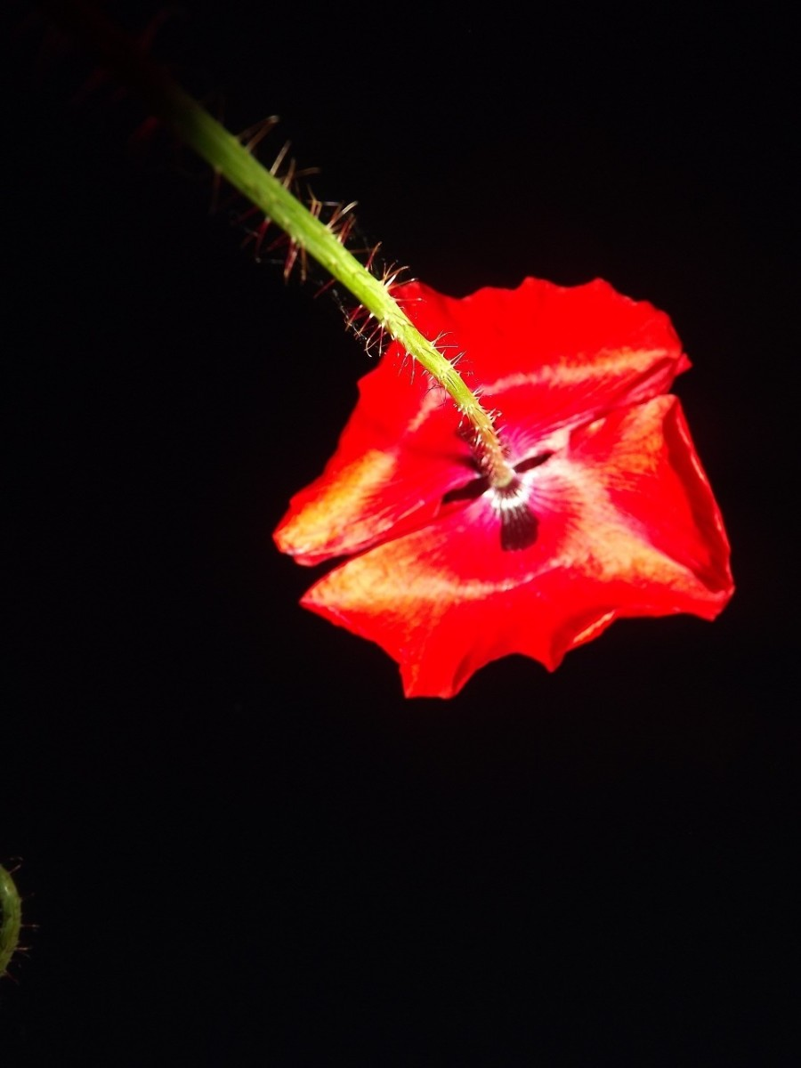 isaac-rosenberg-ww1-poppy-poetsc