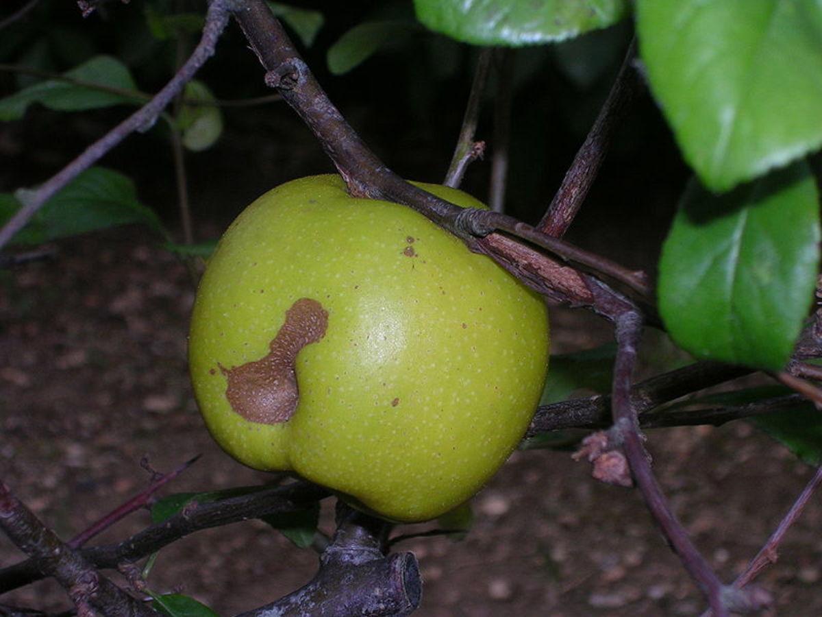 A crabapple