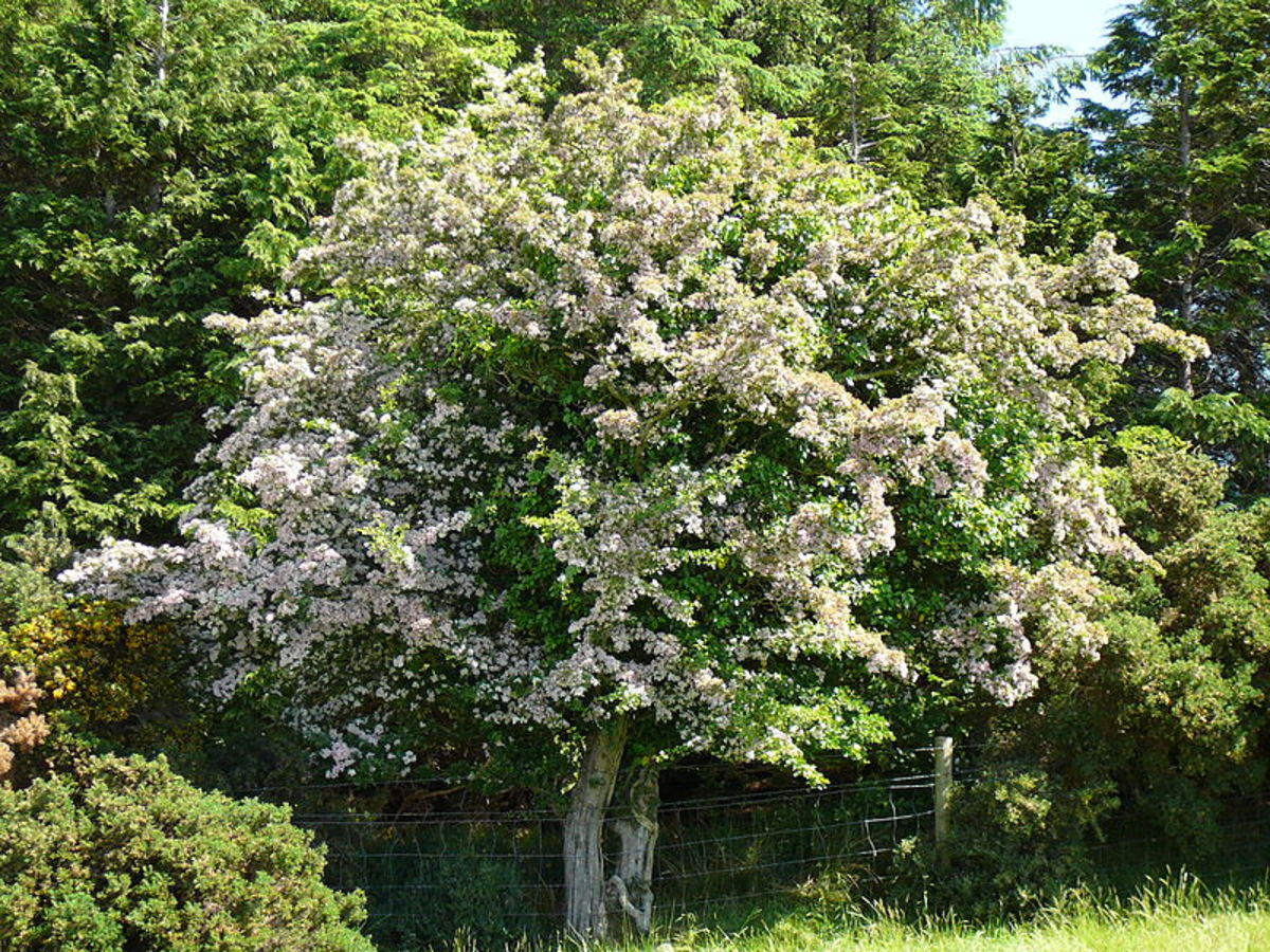 A hawthorn in bloom