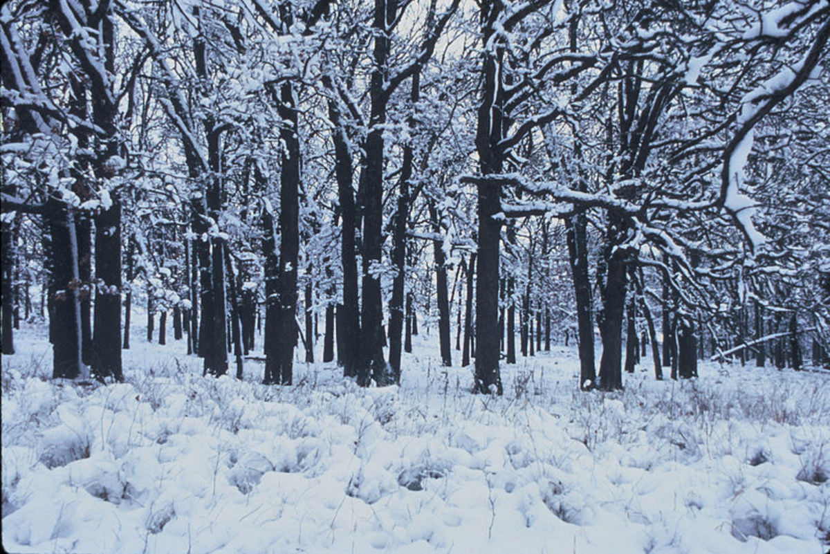 A deciduous forest in winter