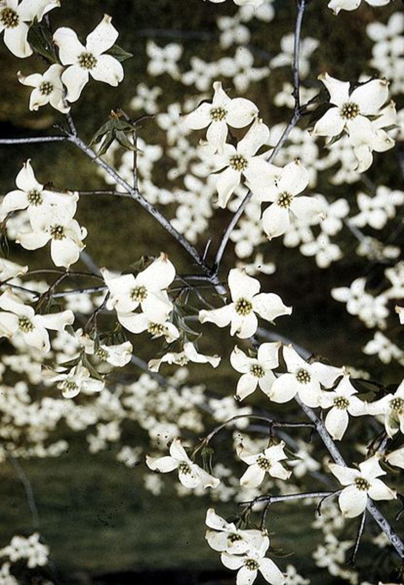 Flowers on a Flowering Dogwood Tree