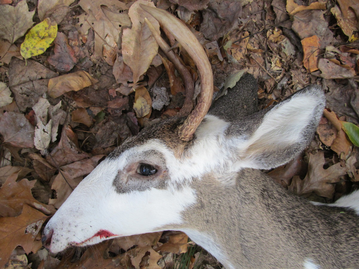 Picture courtesy of David Wigley an approximately 1.5 year old deer shot on 1/1/2013.