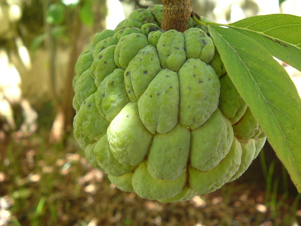 The Health Benefits of Custard Apple, Sweetsop, Sugar Apple or Sitaphal