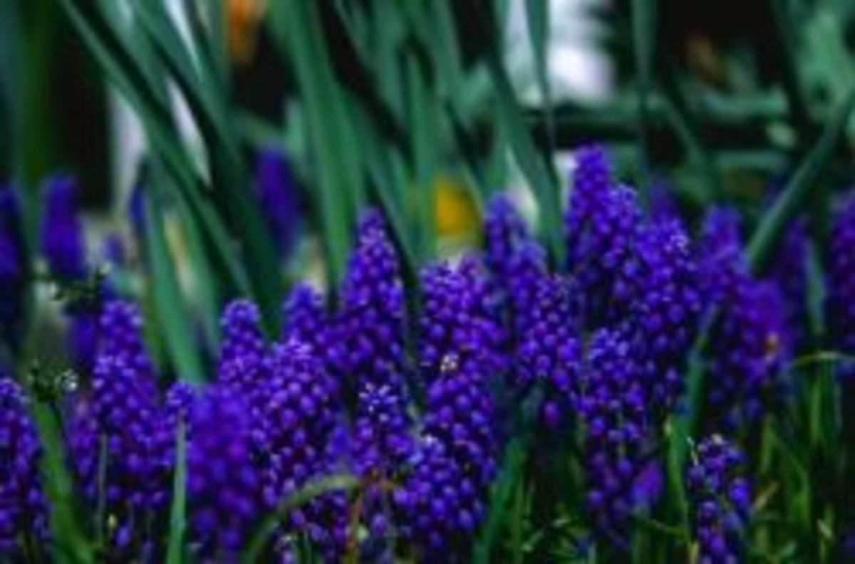 How to repot hyacinths