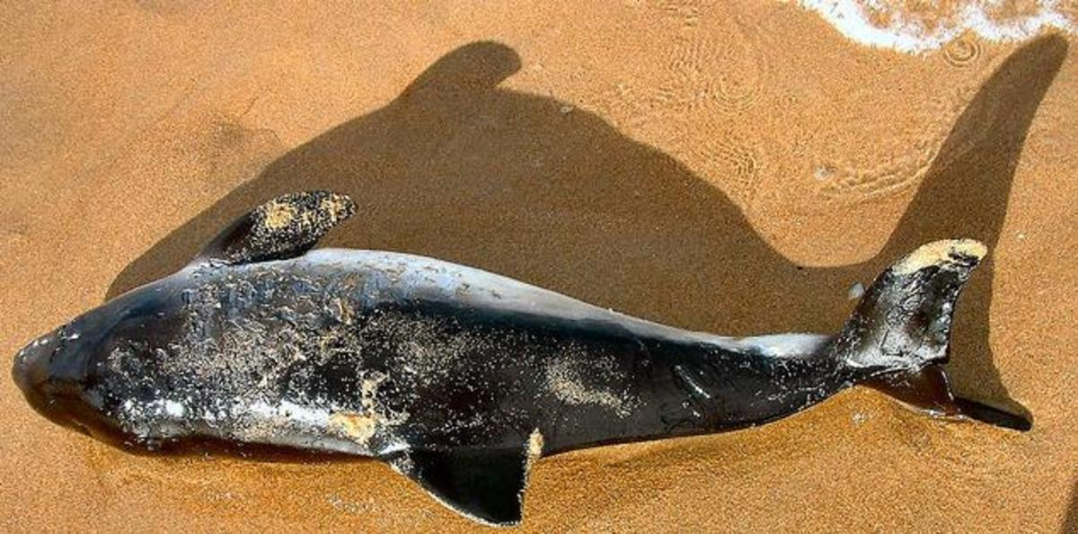 Small and vulnerable porpoise killed by a bottle nose dolphin.