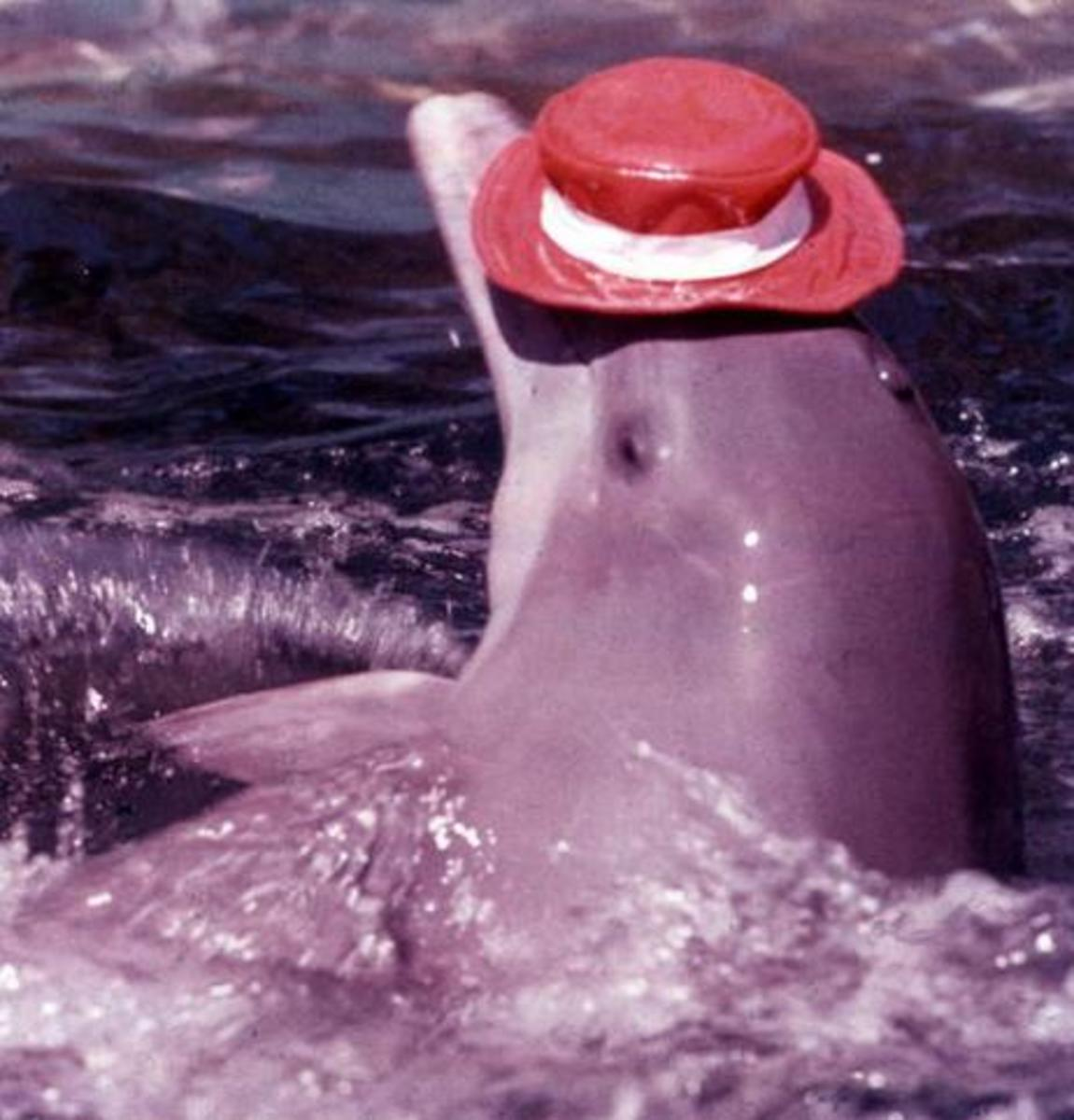 Dolphin wearing a hat at Aquarama.
