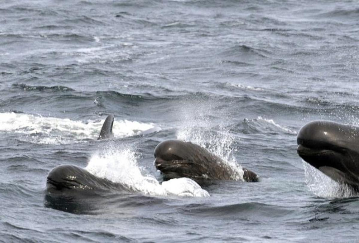Pilot whales, another dolphin species.