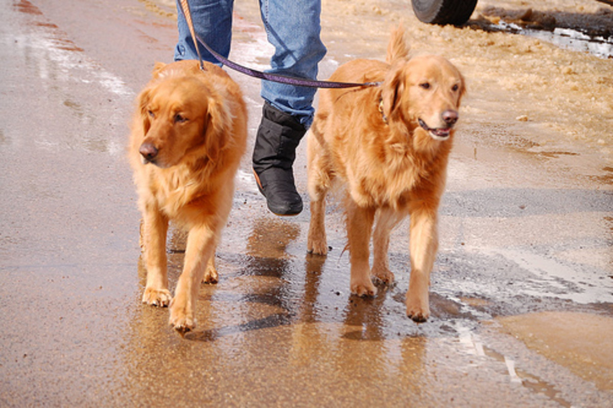 How to Walk Two Dogs at Once
