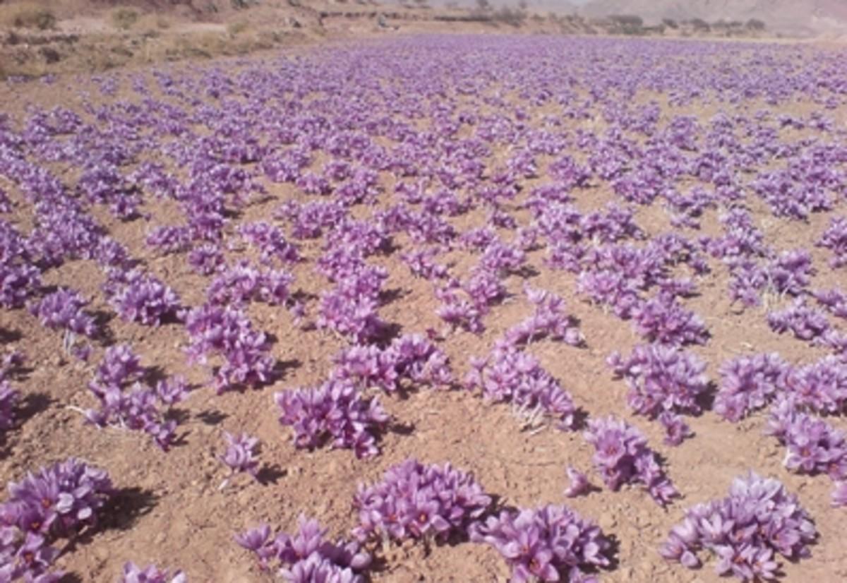 Saffron field.