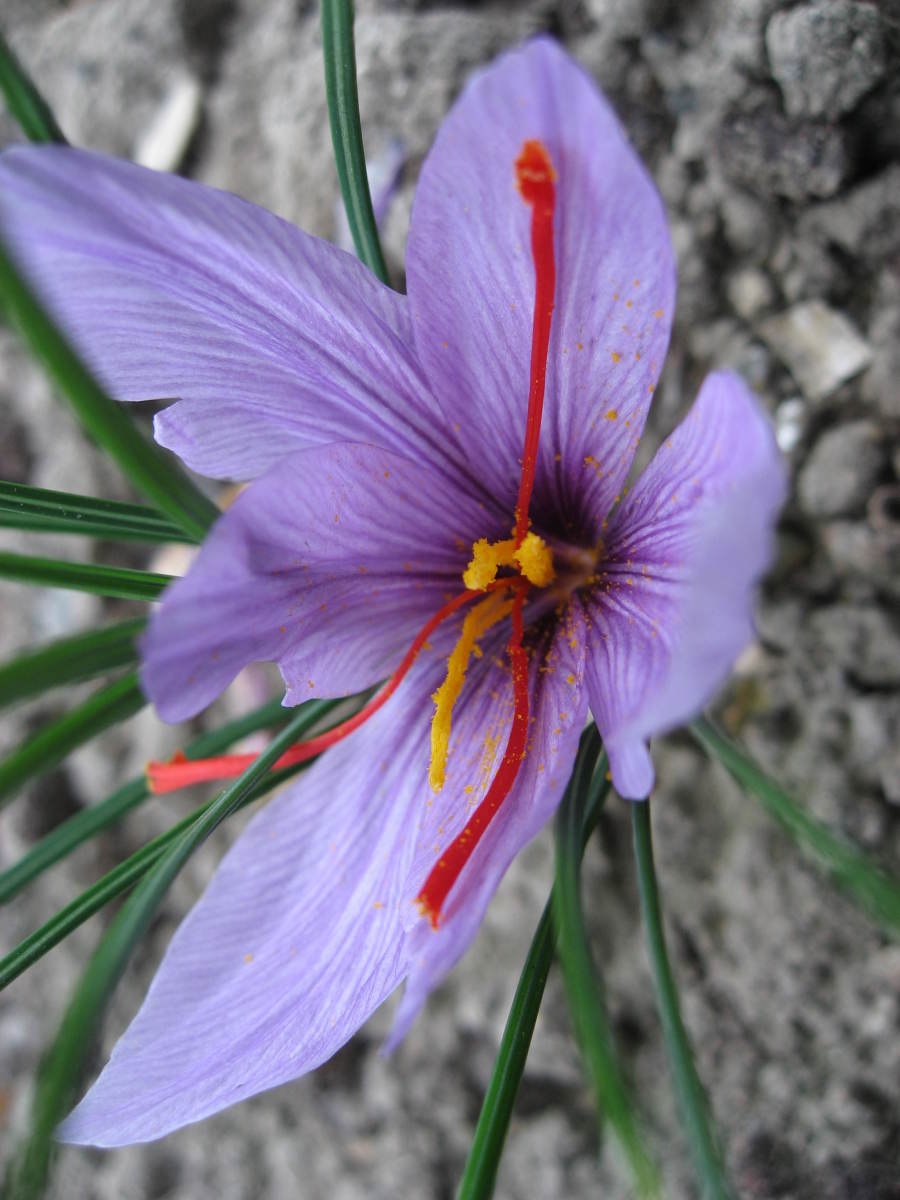 close up of the saffron flower showing the 3 crimson colored stigmas.