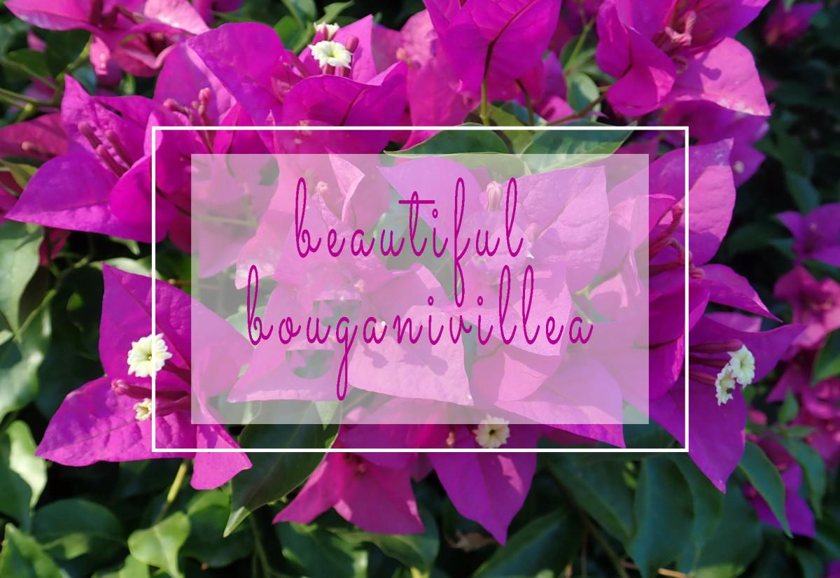 The Bold, Brash, and Beautiful Bougainvillea