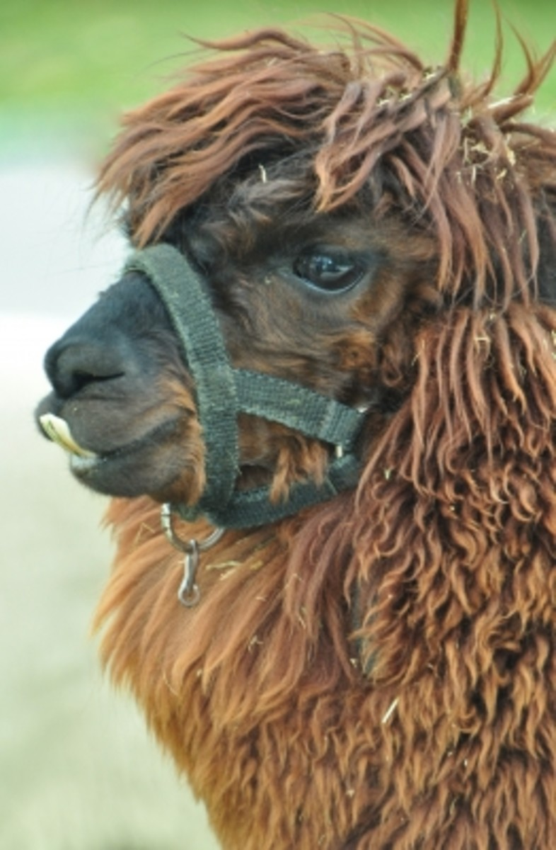 Alpacas--High Profit For Micro Farmers