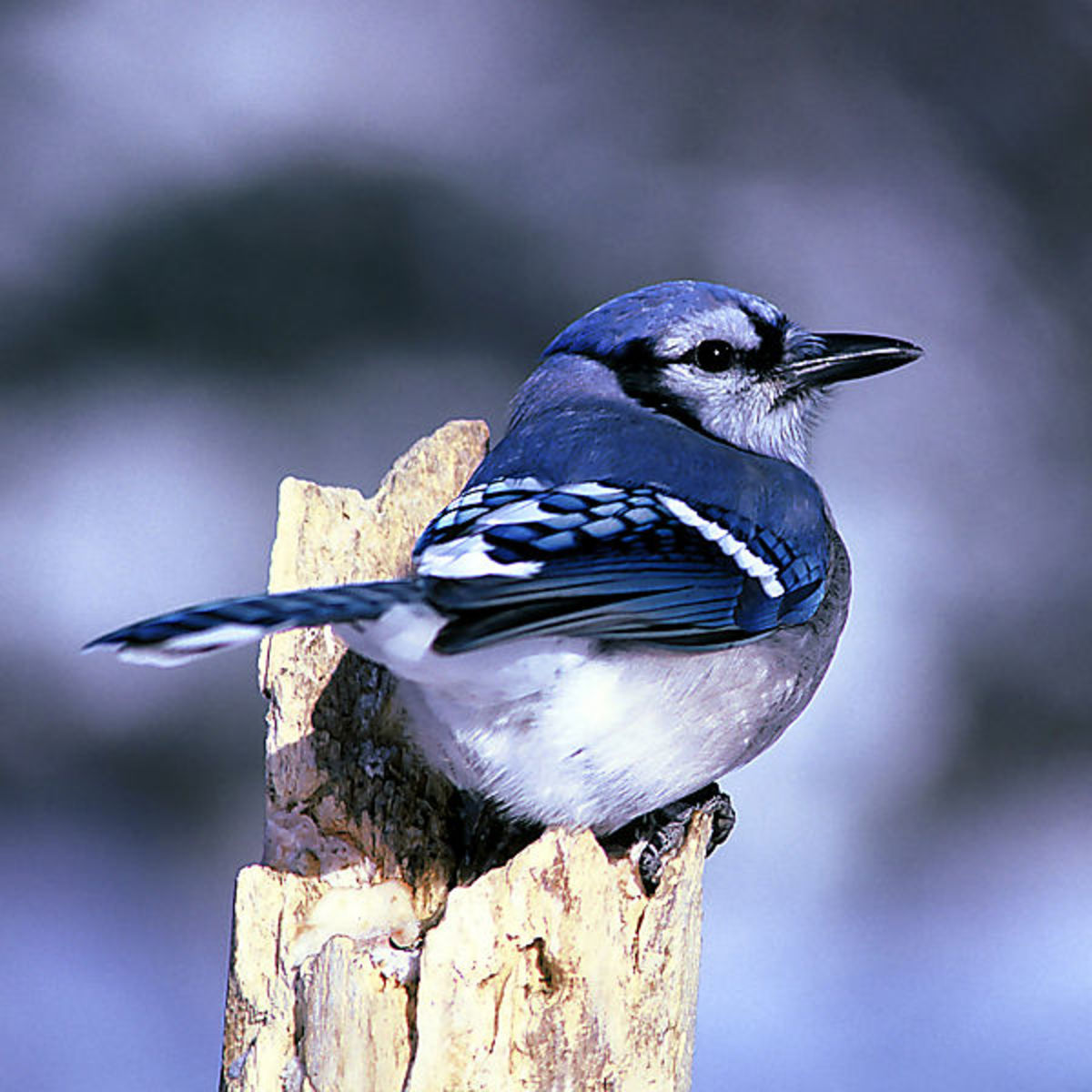 Blue Jays are raucous year round residents of North Carolina.