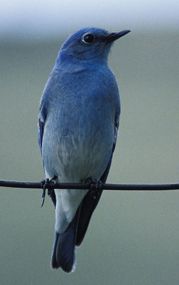 The blue chest and belly are the most distinguishing features of the Mountain Bluebird.