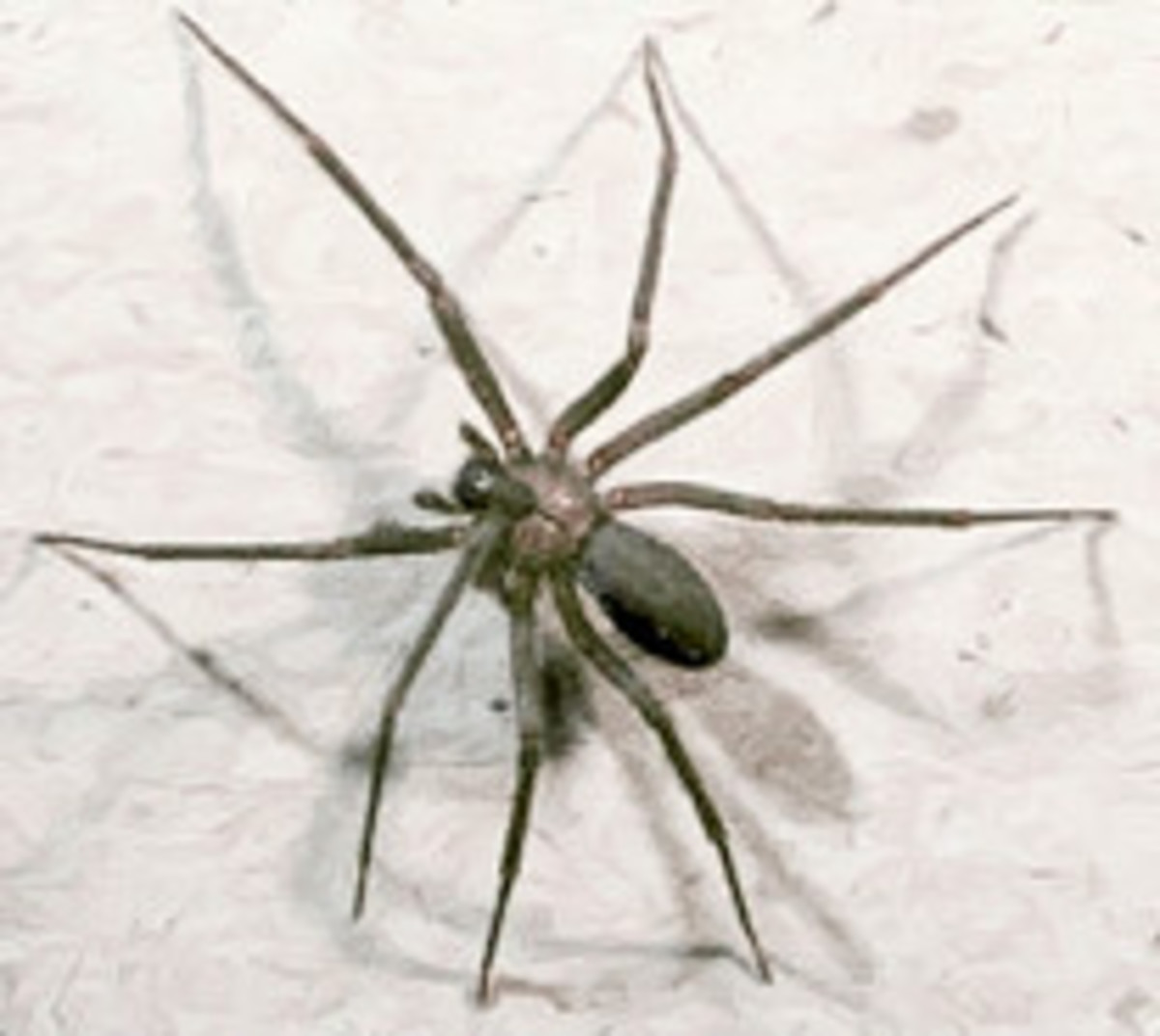 A brown recluse has a violin shape on its back.