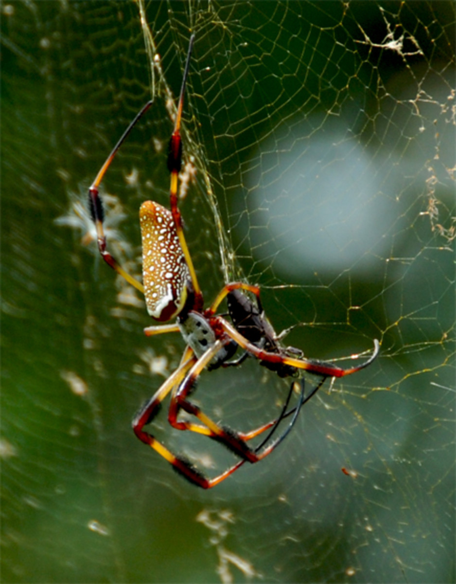 Golden Orb spiders vary based on region.  They are usually large and make very large, neat webs.  They are a perfect, outdoor pet spider.